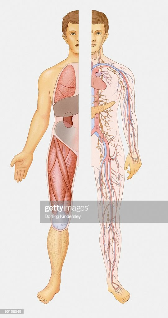 Illustration Of Internal Systems Of Human Body Stock Illustration