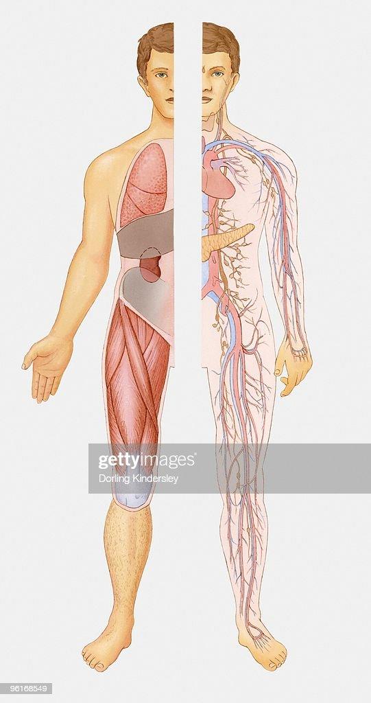 Großartig Human Body Internal System Bilder - Anatomie und ...