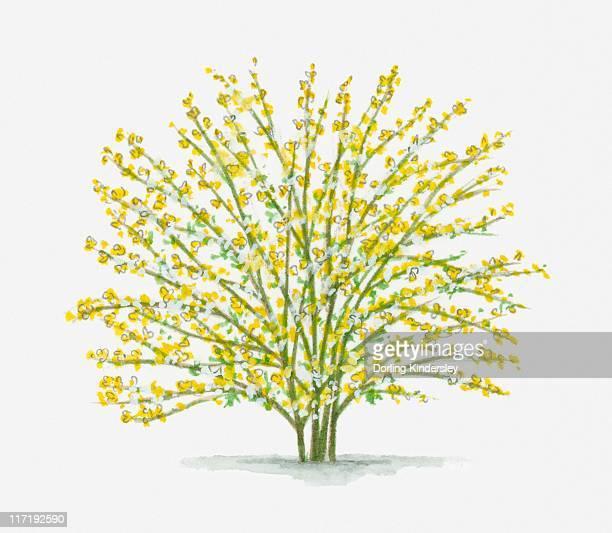 Illustration of Jasminum nudiflorum (Winter Jasmine) with abundance of small yellow flowers on long stems