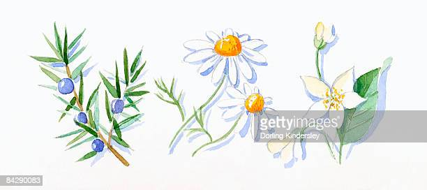 Illustration of Juniper berries and green leaves on stem, German chamomile, and neroli flowers, buds and green leaves on stem