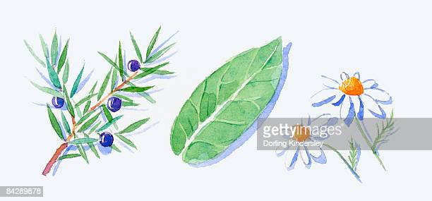 illustration of juniper leaves and juniper berries on stem, green eucalyptus leaf and german chamomile flowers - ユーカリの葉点のイラスト素材/クリップアート素材/マンガ素材/アイコン素材
