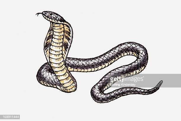 ilustraciones, imágenes clip art, dibujos animados e iconos de stock de illustration of king cobra (ophiophagus hannah) - cobra