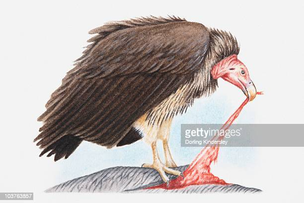 Illustration of Lappet-faced vulture (Torgos tracheliotos) feeding on another animal