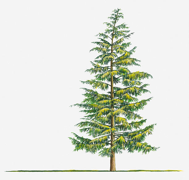 Illustration Of Large Evergreen Tsuga Heterophylla (Western Hemlock) Tree Wall Art