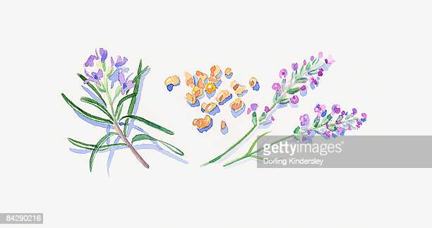 Illustration of lavender flowers, frankincense resin, and rosemary flowers and leaves