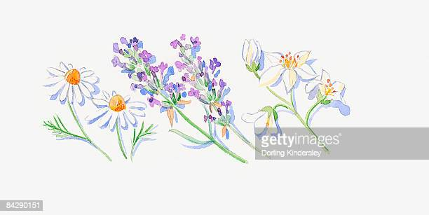 Illustration of lavender flowers, Roman chamomile flowers and neroli flowers and bud on stems