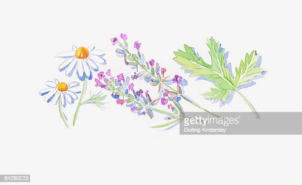 ilustraciones, imágenes clip art, dibujos animados e iconos de stock de illustration of lavender stems with flowers, white roman chamomile flowers, and geranium leaf - planta de manzanilla