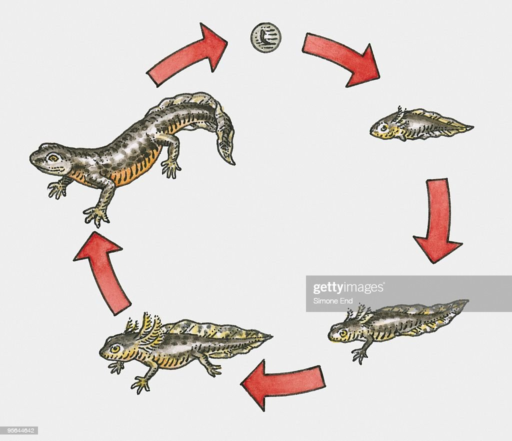 Illustration Of Life Cycle Of A Newt Stock Illustration