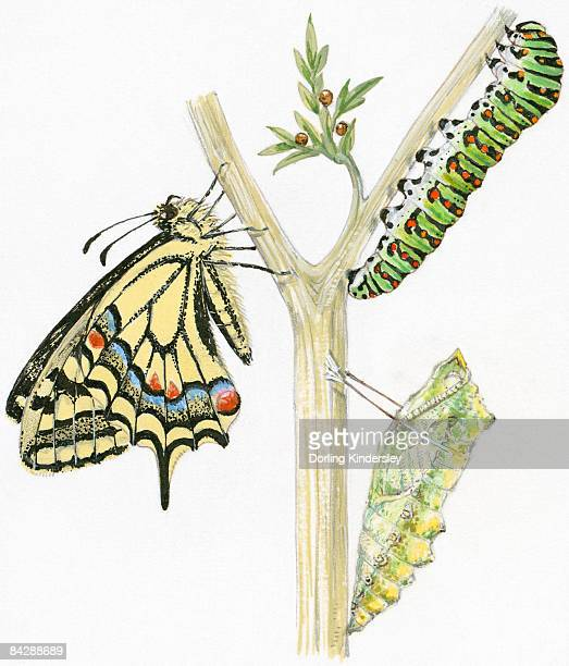 Illustration of life cycle of Swallowtail Butterfly (Papilio machaon) from pupa and caterpillar, to adult butterfly