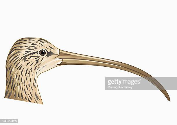 Illustration of Long-billed Curlew (Numenius americanus), profile showing long curved beak