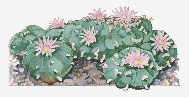 Illustration Of Lophophora Williamsii (Peyote) Cactus Woth Pink Flowers Wall Art