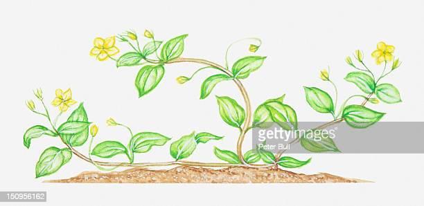 Illustration of Lysimachia nemorum (Yellow pimpernel), wildflower with bendy stems