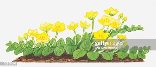 Illustration of Lysimachia nummularia (Creeping jenny, Moneywort), yellow flowers