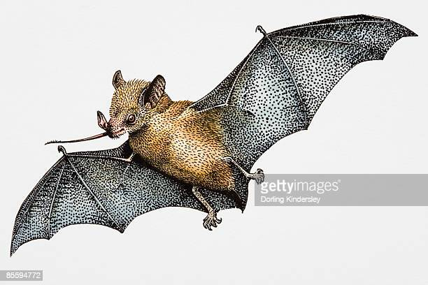 Illustration of Madagascar Fruit Bat (Pteropus rufus), carrying boabab flower in mouth