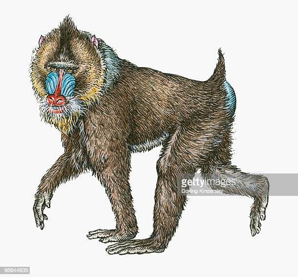 illustration of male mandrill (mandrillus sphinx) - mandrill stock illustrations, clip art, cartoons, & icons
