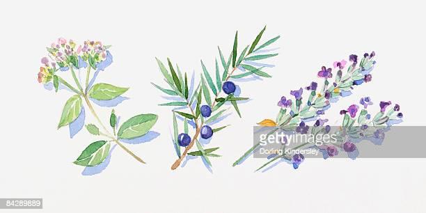 illustration of marjoram leaves and flowers on stem, juniper berries and leaves on stem, and lavender flowers on stem - hecke stock-grafiken, -clipart, -cartoons und -symbole