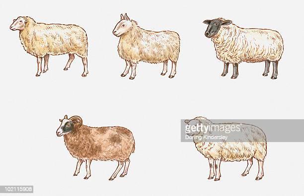 illustration of milk, mule, suffolk, welsh mountain, and jacob sheep - 羊点のイラスト素材/クリップアート素材/マンガ素材/アイコン素材