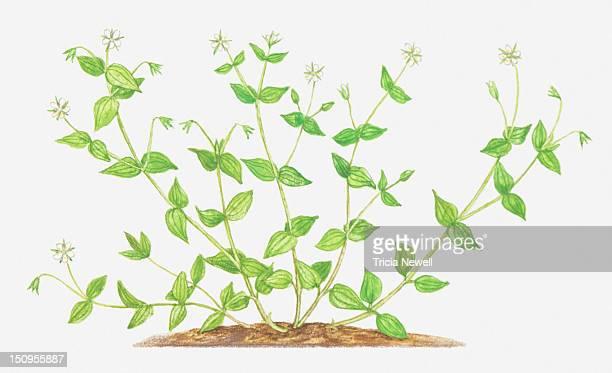 illustration of moehringia trinvervia (three-nerved sandwort), wildflowers - sandwort stock illustrations, clip art, cartoons, & icons