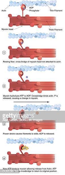 ilustraciones, imágenes clip art, dibujos animados e iconos de stock de illustration of muscle contraction (with labels). - mitocondria