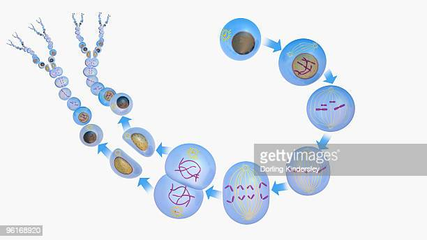 Illustration of new cells being produced, full cycle from Interphase, through Mitosis (Early Prophas