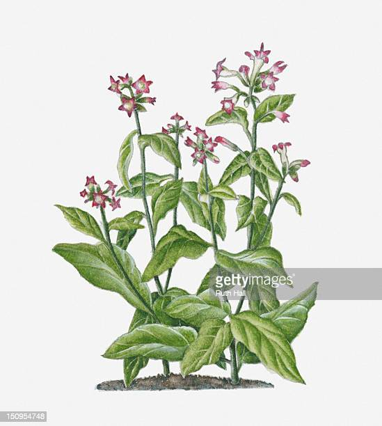 illustration of nicotiana tabacum (tobacco) bearing pink-white flowers on long stems with green leaves - tobacco crop stock illustrations, clip art, cartoons, & icons