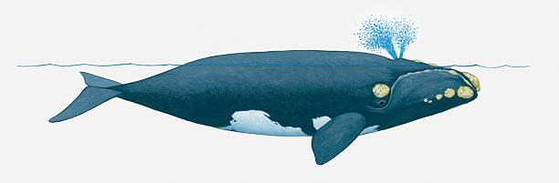 Illustration Of North Pacific Right Whale (Eubalaena Japonica) Near Surface Of Water Showing Two Blowholes On Top Of Head Wall Art