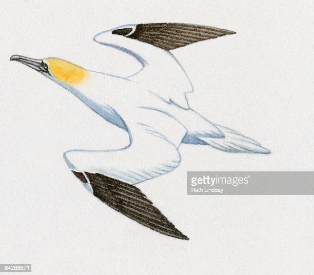 illustration of northern gannet (morus bassanus) flying - northern gannet stock illustrations