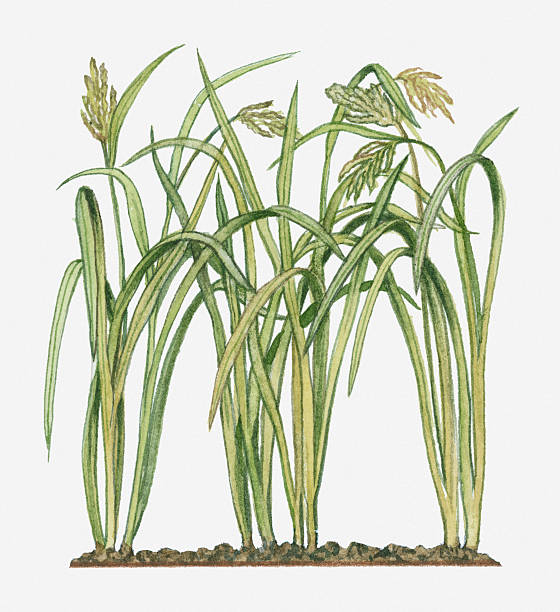 Illustration Of Oryza Sativa (Asian Rice) Bearing Ripening Panicles On Long Leaf Stems Wall Art
