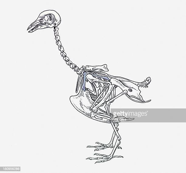 ilustraciones, imágenes clip art, dibujos animados e iconos de stock de illustration of ostrich skeleton - hueso de la pierna