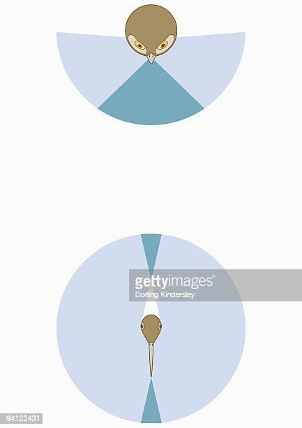 ilustraciones, imágenes clip art, dibujos animados e iconos de stock de illustration of owl's right and left monocular and binocular vision - animal vertebrado