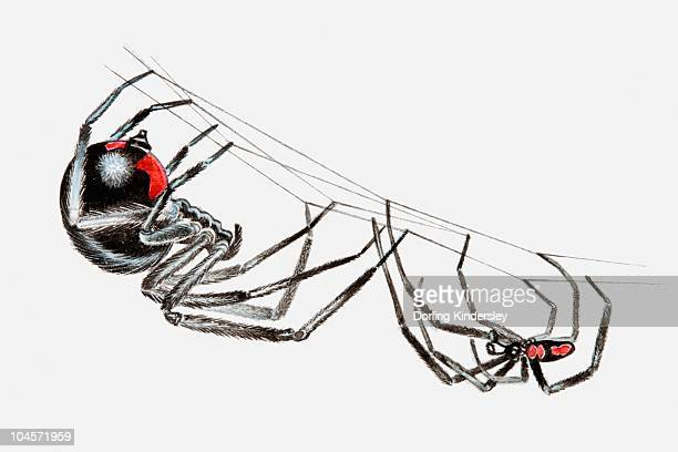 illustration of pair of black widow spiders (latrodectus sp.), larger female and smaller male, hanging upside down from a spider web in courtship ritual - black widow spider stock illustrations, clip art, cartoons, & icons