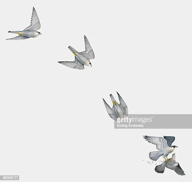 Illustration of Peregrine falcon (Falco peregrinus) attacking a pigeon in mid-air, multiple image