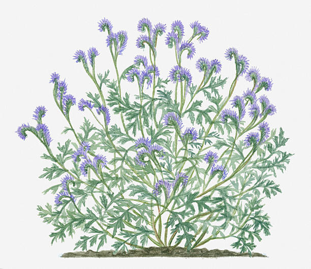 Illustration Of Phacelia Tanacetifolia (Lacy Phacelia) Bearing Lavender On Long Curved Stems With Grey-green Leaves Wall Art