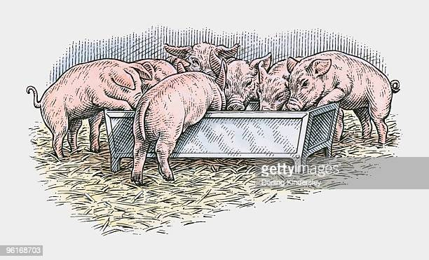 illustration of pigs feeding from trough in barn - pigs trough stock illustrations