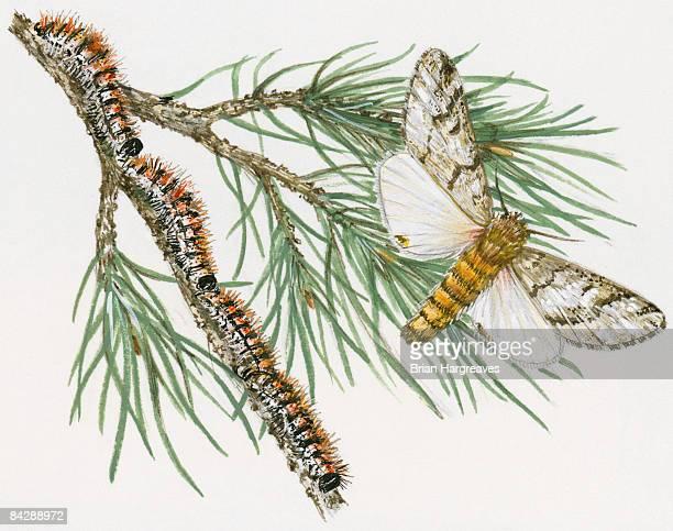 illustration of pine processionary (thaumatopoea pityocampa) moth and procession of caterpillar on pine stem - parade stock illustrations
