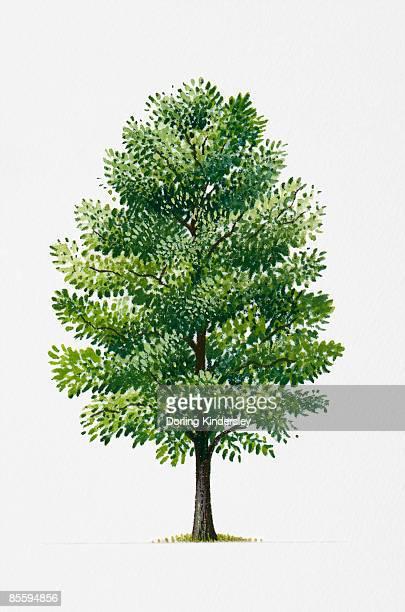 illustration of populus tremula (common aspen or eurasian aspen), poplar tree found in northern europe - aspen tree stock illustrations, clip art, cartoons, & icons