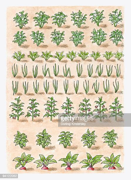 illustration of potato plant, carrots, onions, tomato plant, leeks, parsnips, beetroot, shallots, ma - marrom点のイラスト素材/クリップアート素材/マンガ素材/アイコン素材