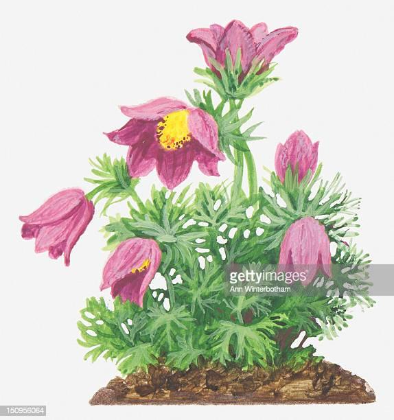 ilustraciones, imágenes clip art, dibujos animados e iconos de stock de illustration of pulsatilla vulgaris (pasque flower), pink flowers - ranunculus