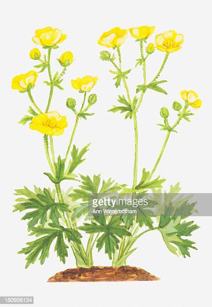 illustration of ranunculus aris (meadow buttercup), yellow flowers - buttercup stock illustrations, clip art, cartoons, & icons
