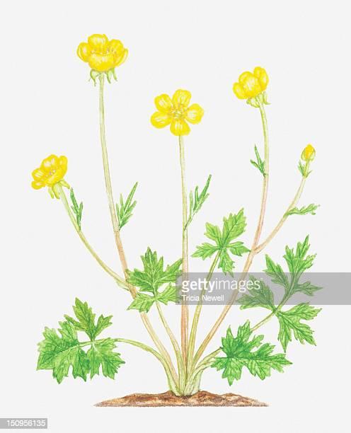 illustration of ranunculus bulbosus (bulbous buttercup), yellow flowers - buttercup stock illustrations, clip art, cartoons, & icons