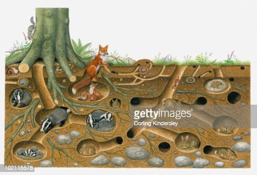 Illustration Of Red Fox And European Badger Living And ...