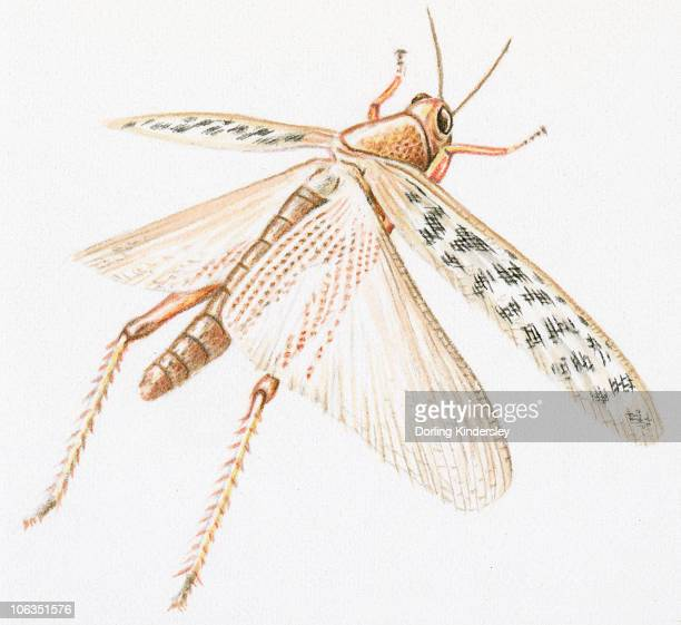 Illustration of Red Locust (Nomadracis septemfasciata) with spread wings