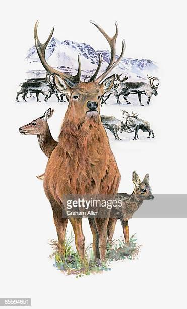 illustrations, cliparts, dessins animés et icônes de illustration of reindeer (rangifer tarandus), doe and calf behind large buck, with fighting males in background - biche