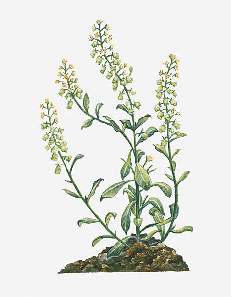Illustration Of Reseda Odorata (Garden Mignonette) Bearing Spiked Raceme Of Yellow Flowers And Buds And Green Leaves On Tall Branching Stems Wall Art
