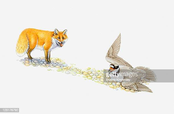 Illustration of Ringed Plover flapping wings to protect eggs as Red Fox stands nearby
