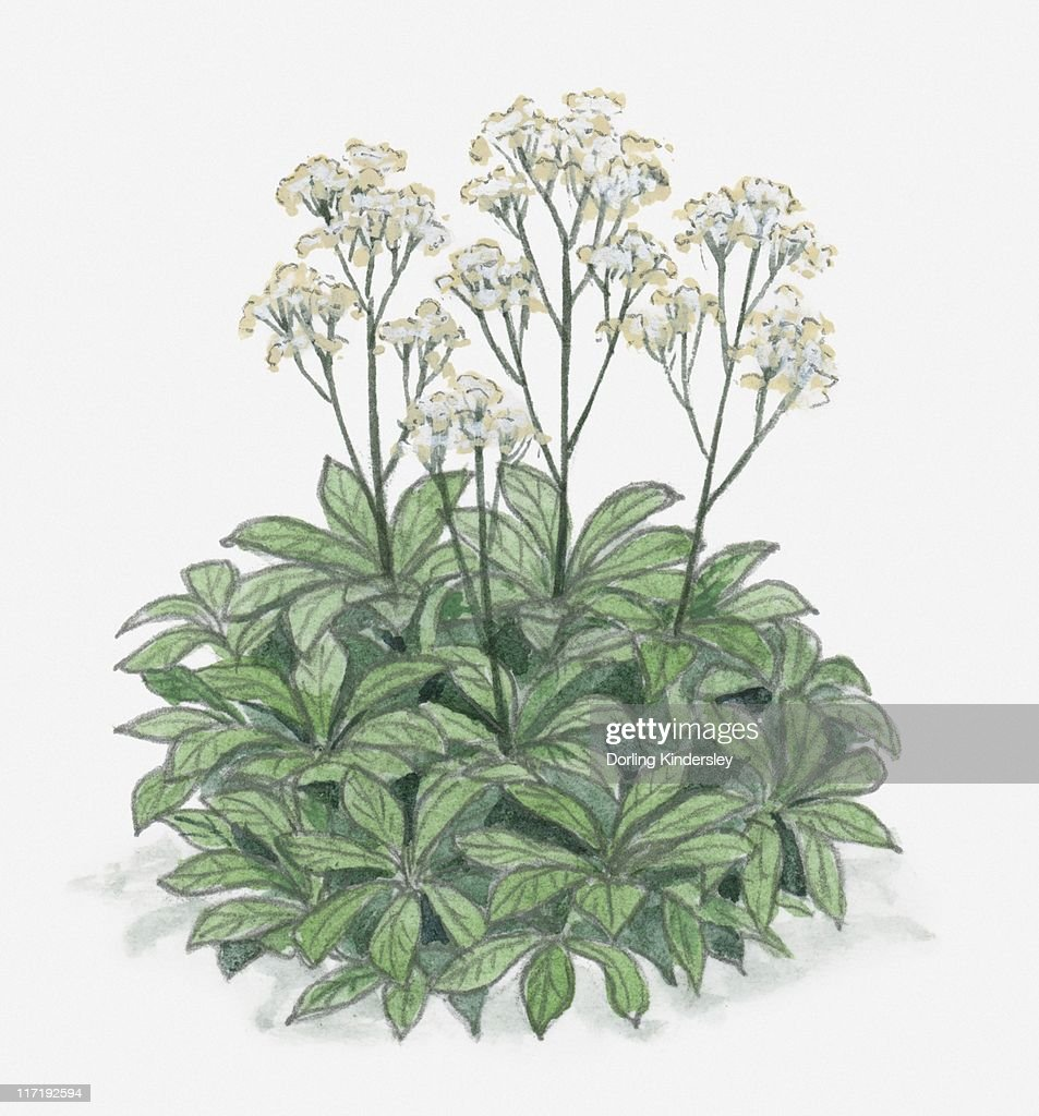 Illustration Of Rodgersia With Clusters Of White Flowers On Long