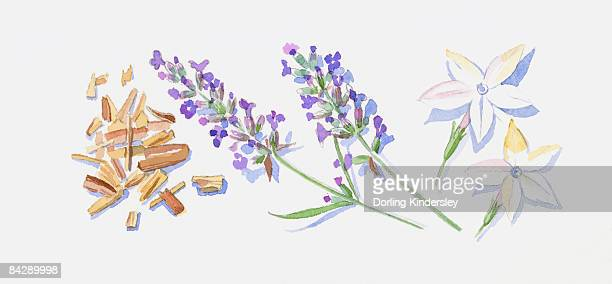 Illustration of sandalwood wood chips lavender flowers on stem, and two Jasmine flowers
