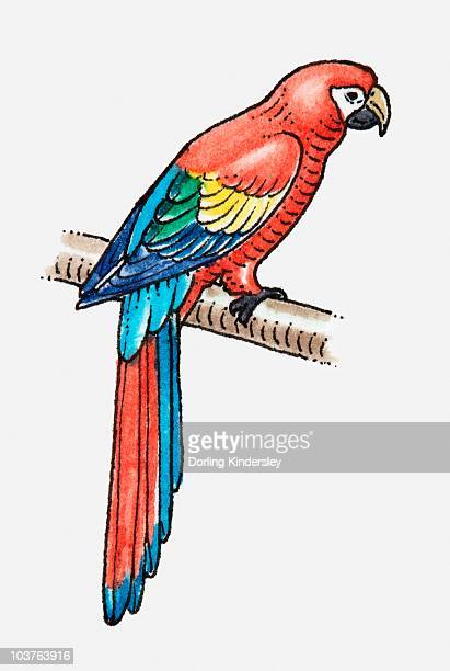 Illustration of Scarlet Macaw (Ara macao) perching on branch