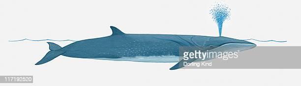 Illustration of Sei Whale (Balaenoptera borealis) using blowhole on surface of water