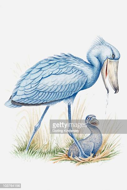 Illustration of Shoebill (Balaeniceps rex) adult carrying water to chick